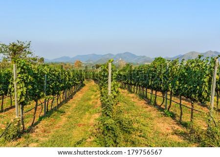Scenic long rows of Vineyards landscape  on blue sky. - stock photo