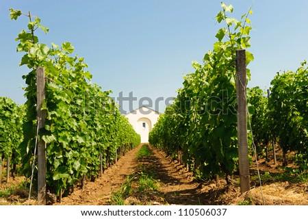 Scenic on fresh vineyards under deep blue sky - stock photo