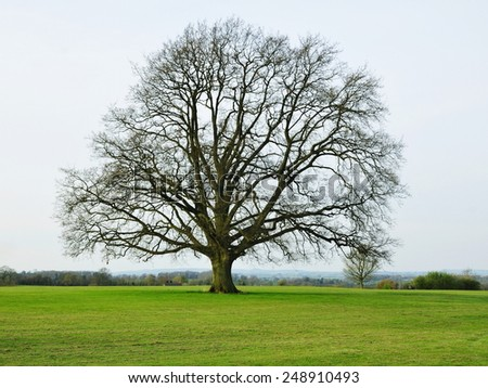 Scenic View of a Bare English Oak Tree in a Green Field in Early Spring - stock photo