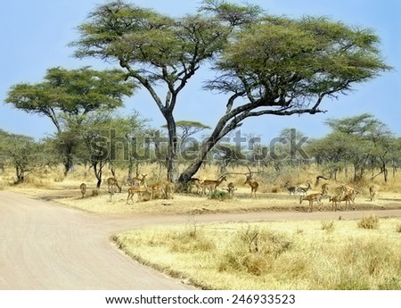 scenic view of kruger park with a crosspoint of dirt roads , acacia trees and a herd of antilope  looking for some shadow during   - stock photo