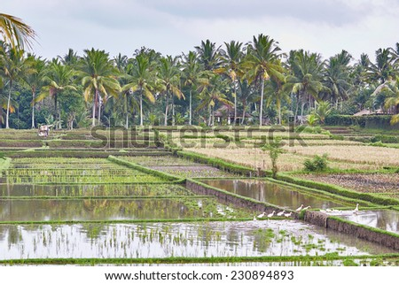 Scenic view of rice fields on a rainy weather near Ubud, Bali, Indonesia - stock photo
