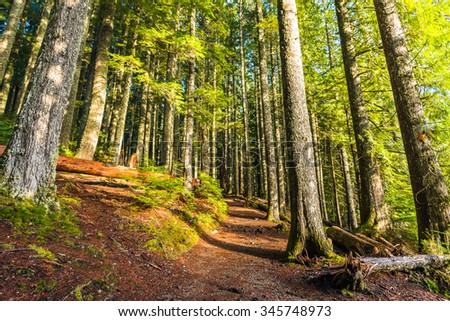 scenic view of very big and tall tree in the forest in the morning. - stock photo