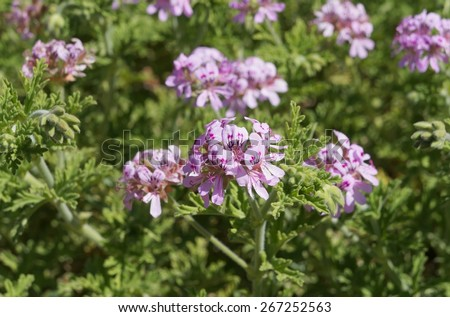 Scented-leaved pelargonium in full bloom with feeding honey-bee - stock photo