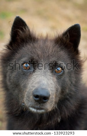 Schipperke sheperd herding dog portrait - stock photo