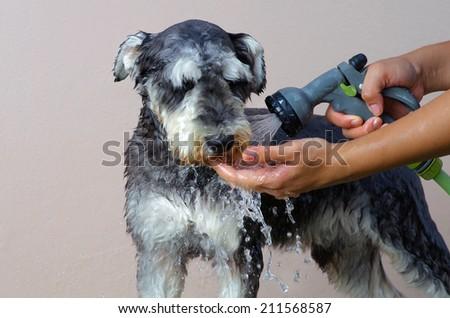 Schnauzer Dog grooming - stock photo