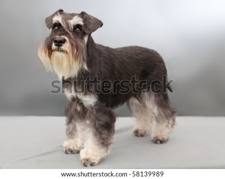 schnauzer in studio - stock photo