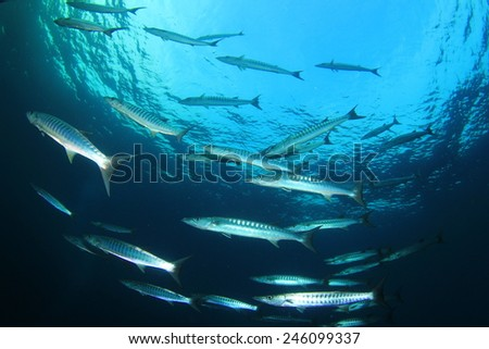 School Chevron Barracuda fish - stock photo