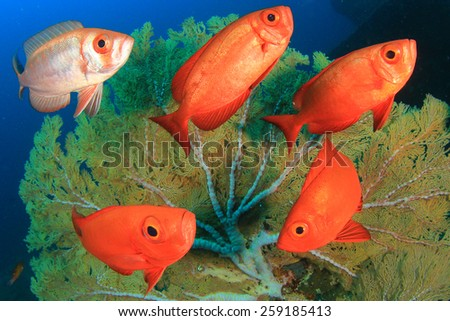 School Crescent-tail Bigeye fish and coral reef - stock photo