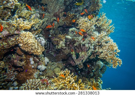 school of anthias - sea goldie at a beautiful red sea coral reef - stock photo