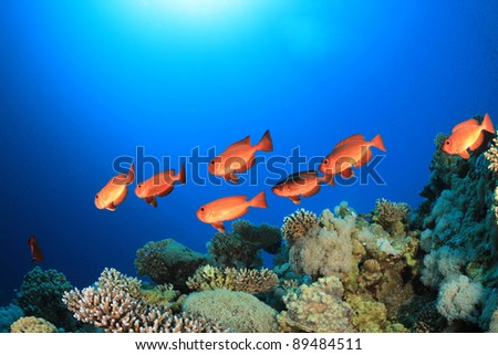 School of Bigeye Fish on Coral reef in the Red Sea - stock photo