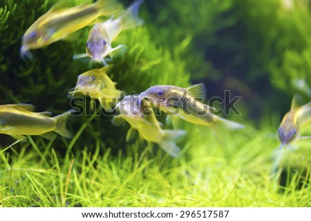 School of Bronze corydoras swimming in aquarium tank,Corydoras aeneus - stock photo