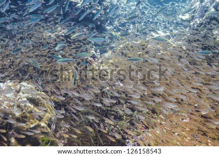 School of cardinalfish at Surin island - stock photo