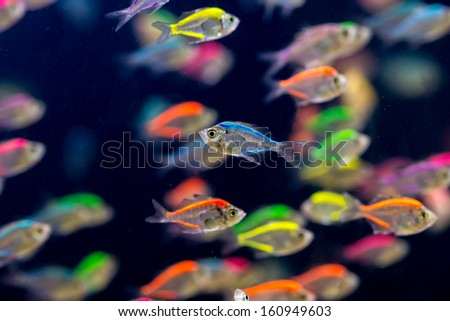 School of colorful Siamese glass-fishes - stock photo