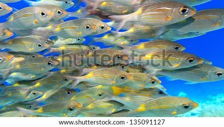 School of fish in The Indian Ocean - stock photo
