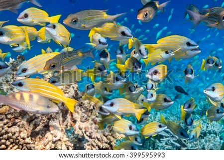 School of fish inThe Indian Ocean, Maldives - stock photo