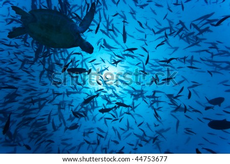 School of fishes underwater and turtle. Sipadan island - stock photo