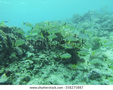 School of French grunt swimming above the reef - stock photo