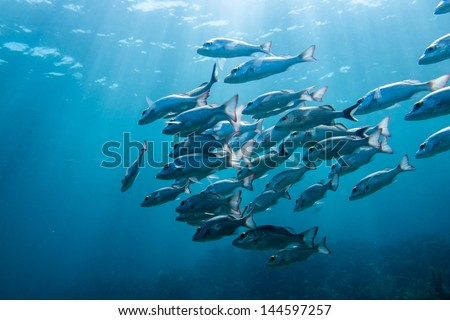 School of grunts and snapper - stock photo