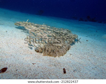 School of juvenile striped eel catfish - stock photo