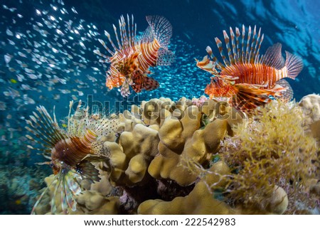 School of lion fish swimming over coral reef and watching their prey - school of tiny fish. Red Sea. Egypt - stock photo