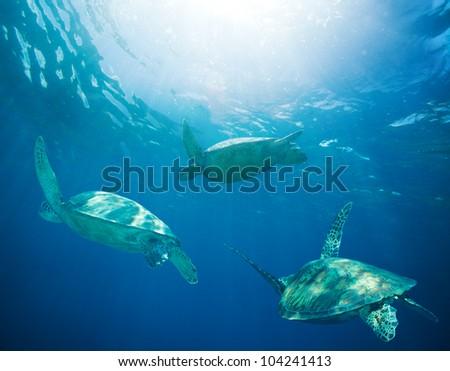 school of sea turtles migrating, swimming - stock photo
