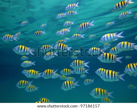 School of Sergeant-major fish with water surface in background, Caribbean sea - stock photo