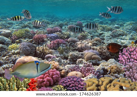 School of Sergeant-major, red Sea, Egypt - stock photo