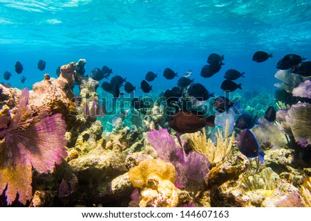 school of surgeonfish from the coral reefs of the mesoamerican barrier. Mayan Riviera, Mexican Caribbean. - stock photo