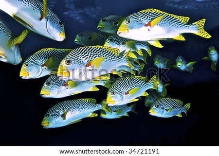 School of sweetlips. Coral Sea, Australia. - stock photo