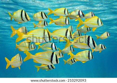 school of tropical fish, porkfish Anisotremus virginicus near water surface, Caribbean sea - stock photo