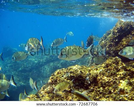 School of White seabream fish, Diplodus sargus, near water surface, Mediterranean sea, Costa Brava, Catalonia, Spain - stock photo