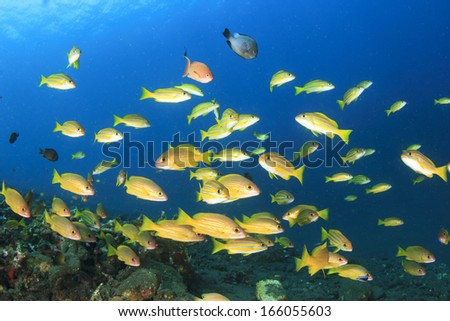 School of yellow Snapper fish in blue water - stock photo