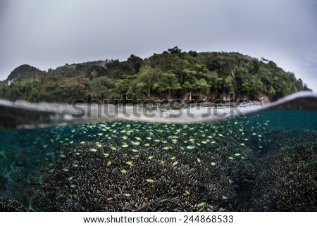 Schooling damselfish swarm above a coral reef in Raja Ampat, Indonesia. This region is part of the Coral Triangle and contains more marine life than anywhere else on Earth. - stock photo