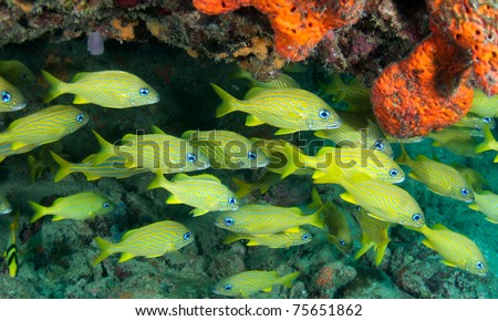 Schooling French Grunts, picture taken in south east Florida. - stock photo