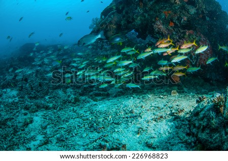 Schooling narrowstripe fusilier are swimming in Gili, Lombok, Nusa Tenggara Barat, Indonesia underwater photo. Schooling narrowstripe fuslier Pterocaesio tessellata and there are damselfish, sweetips  - stock photo