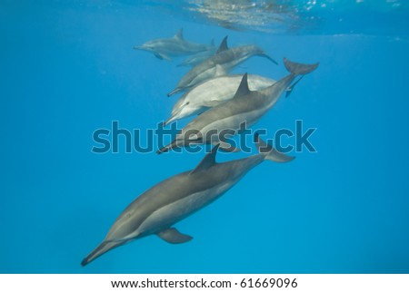 Schooling Spinner dolphins (Stenella longirostris). Sataya, Southern Red Sea, Egypt. - stock photo