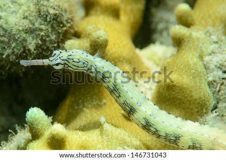 Schultz Pipefish, fiji - stock photo