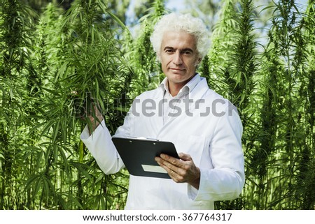 Scientist checking hemp plants in the field, he is holding a clipboard, herbal alternative medicine concept - stock photo
