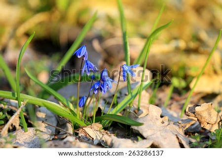 Scilla bifolia flowers in forest at spring time - stock photo