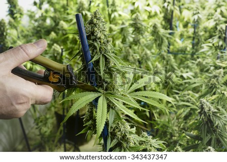 Scissors Trimming Marijuana Leaf from Cannabis Plant at Indoor Farm - stock photo