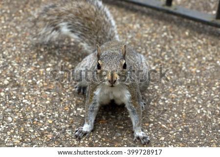 Sciurus carolinensis, grey squirrel                         - stock photo