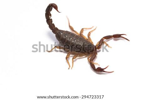 Scorpion bug close up isolated on white background  - stock photo
