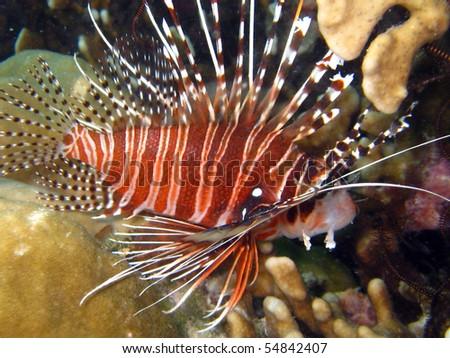 Scorpion fish - stock photo