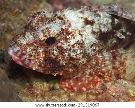 Scorpion Fish camouflaging within the coral reefs - stock photo