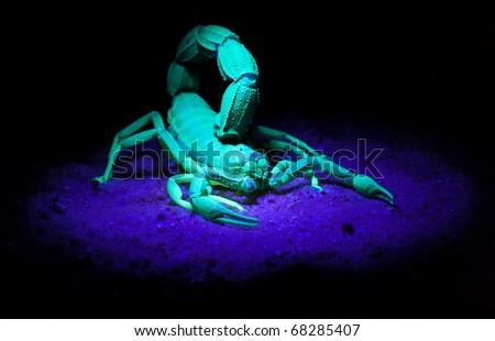 Scorpion in UV-light - stock photo