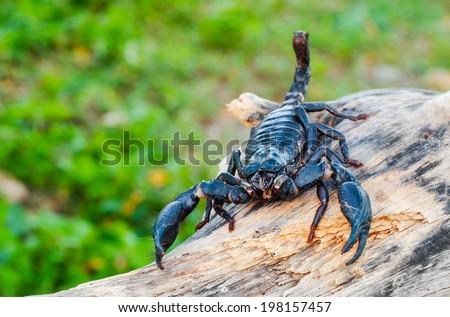 Scorpion Pandinus imperator - stock photo