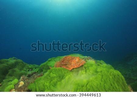 Scorpionfish on green seaweed - stock photo