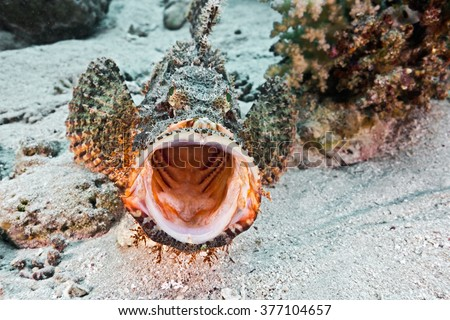 Scorpionfish on the coral reef - stock photo