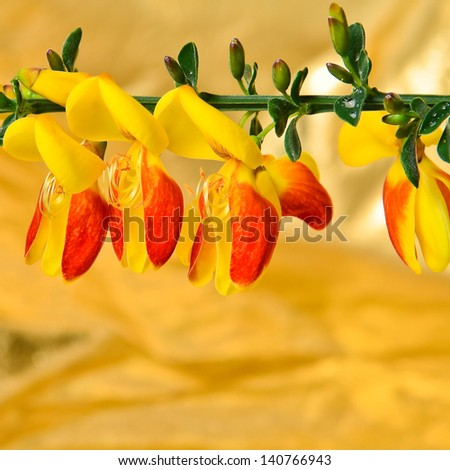 Scotch Broom Cytisus scoparius flowers - stock photo