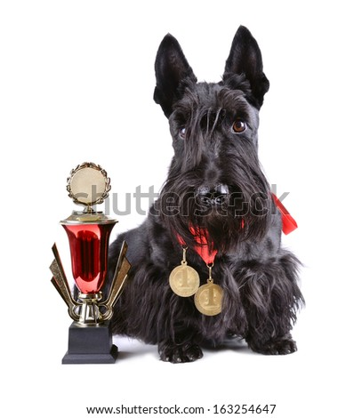 Scotch terrier with gold cup and medals on a white background - stock photo